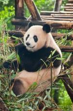 Panda Base, Chengdu
