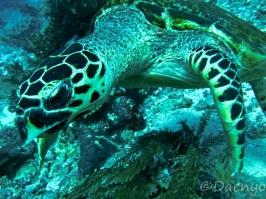 Diving, Flores