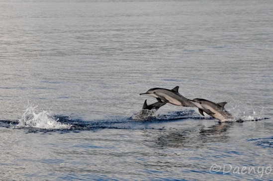 Dolphins, Sunda Islands