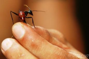 Ant Bukit Lawang, Sumatra