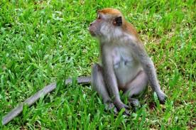 Monkey Bukit Lawang, Sumatra