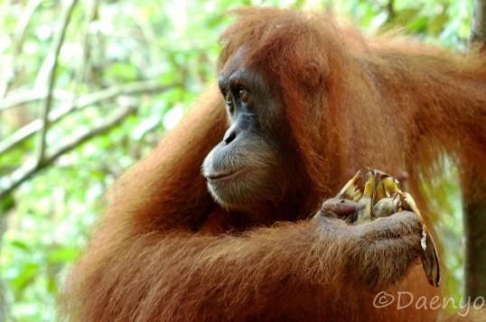 Orang Utan Bukit Lawang, Sumatra