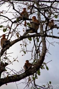 Proboscis Monkey, Borneo