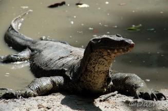 Monitor Lizard, Borneo
