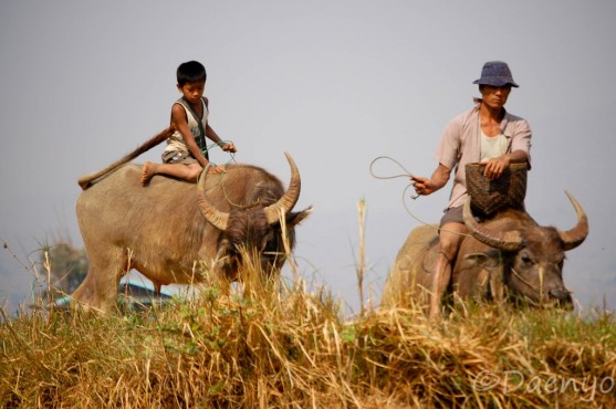 Kid and Father on Buffaloes