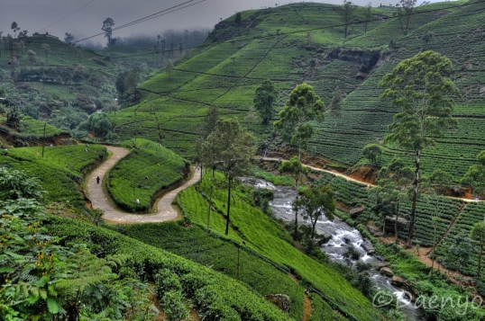 Tea Plantations, Nuwara Eliya