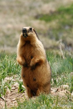 Marmot, Deosai
