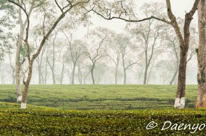 Tea Plantation, Assam