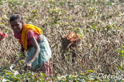 Tea Plantation, Assam
