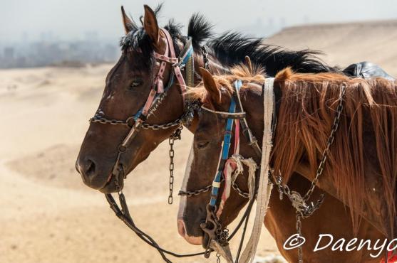 Horses of Giza