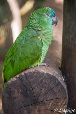 Parrot, Brasil
