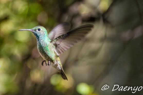 Kolibri, Brasil
