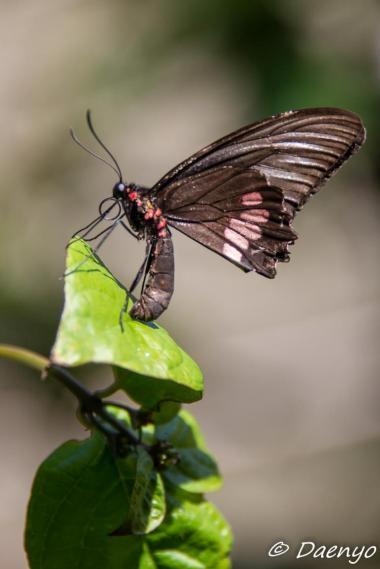 Giant Butterfly, Brasil