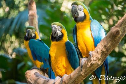 Parrots, Brasil