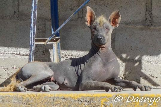 Some really ugly dog, Peru