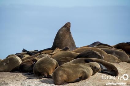 Seal Colony Duiker Island