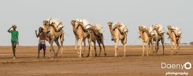 Danakil Depression, Camel Caravan