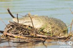 Chamo Lake, Crocodile