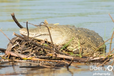 Chamo Lake, Crocodile