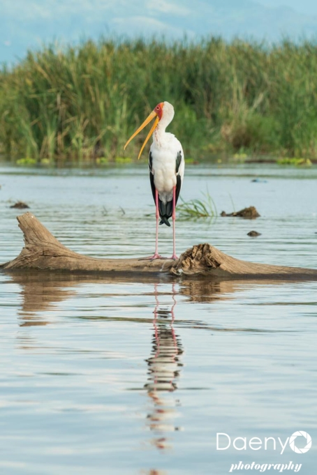 Chamo Lake, Marabu