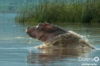 Chamo Lake, Hippo