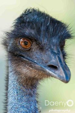 Emu, Kangaroo Island