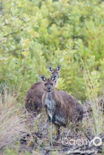 Wallabys at Flinders Chase NP, Kangaroo Island
