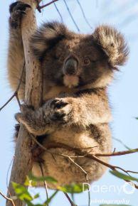 Koala, Kangaroo Island