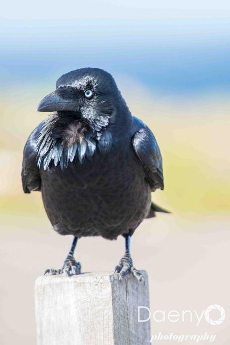 Raven, Kangaroo Island